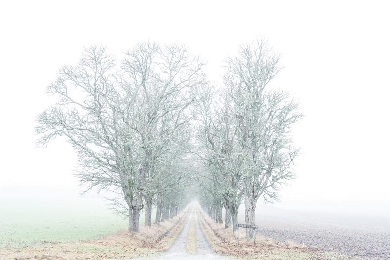 Avenue of maple trees in fog stock images
