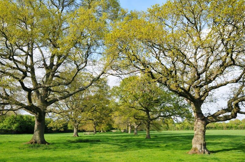 Avenue of Oak Trees royalty free stock photo