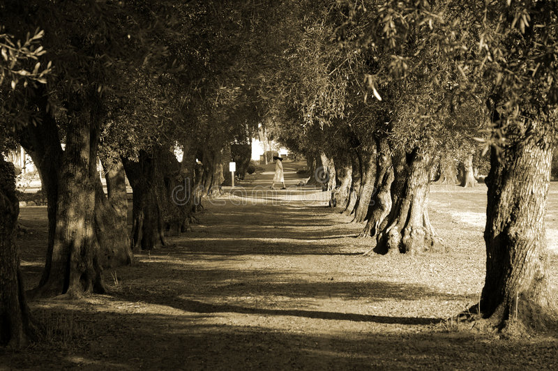 Download Avenue Of Olive Trees And Nun Royalty Free Stock Photo - Image: 2284065