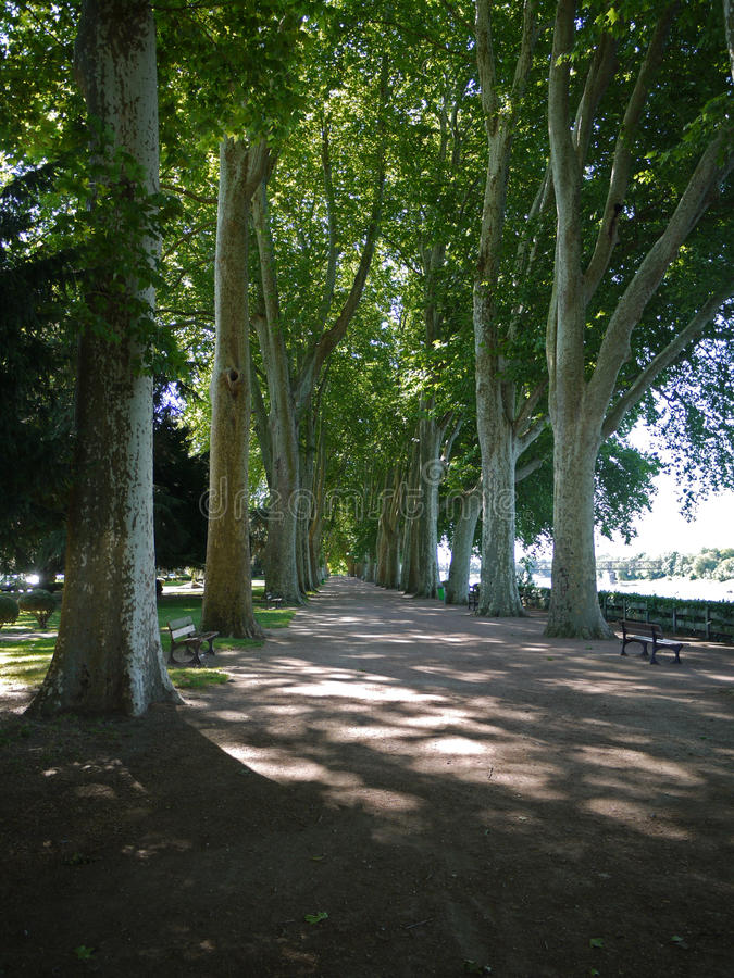 Avenue of plain trees in Chinon, France. Avenue of pain trees in Chinon, France. Dappled light and the river behind stock image