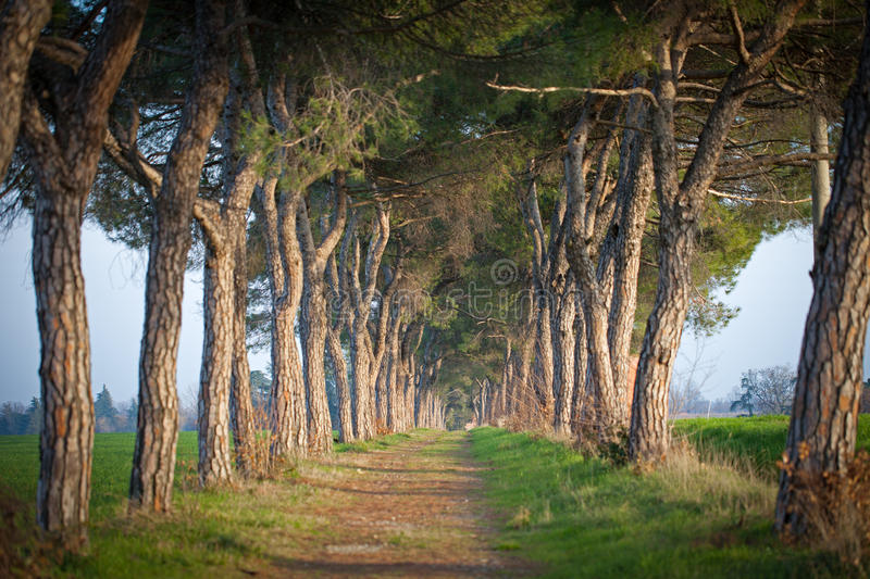 Download Avenue Of Trees Royalty Free Stock Photo - Image: 28906995