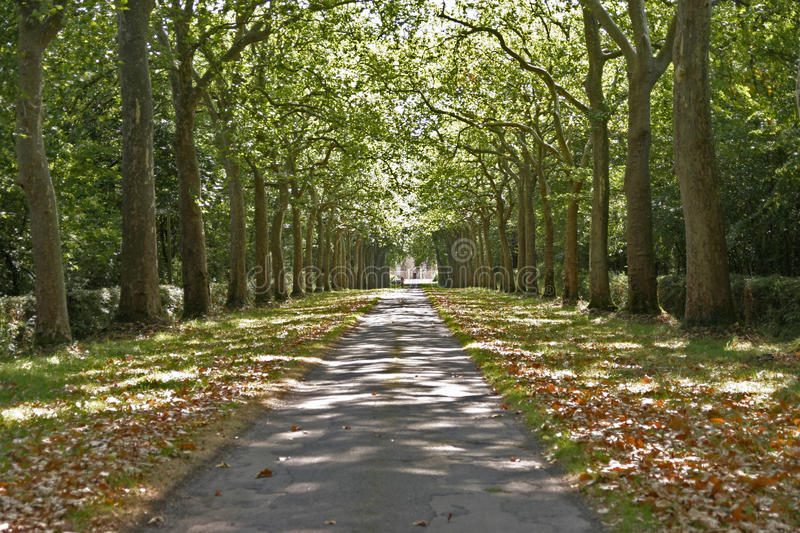 Avenue of trees in dappled light. Path and leaves to a vanishing point stock image