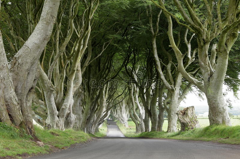Avenue of trees Dark Hedges in Ireland. The Avenue of trees Dark Hedges in Ireland royalty free stock photography