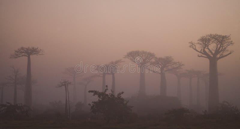 Aveny av baobabs på gryning i den allmänna sikten för mist madagascar arkivbilder