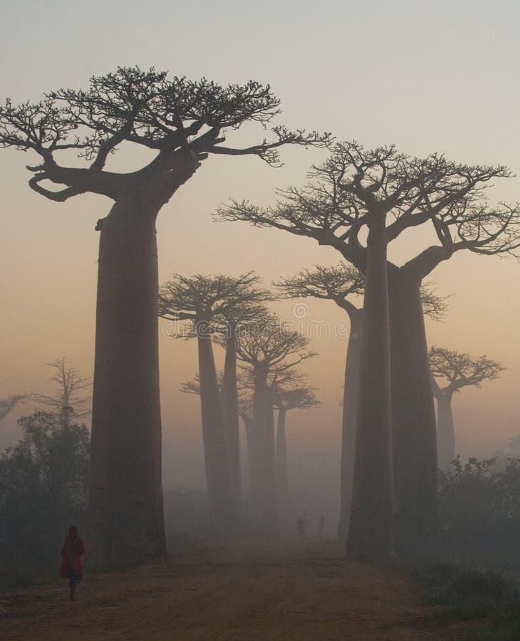 Aveny av baobabs på gryning i den allmänna sikten för mist madagascar arkivfoto