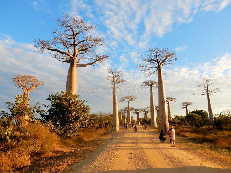 Aveny av baobabsna, grupp av baobabträd som fodrar grusvägen i västra Madagascar royaltyfri fotografi