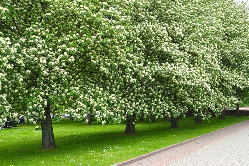 Avenyn av de blomstra träden av intermedia Ehrh för Sorbus för bergaska en skandinavisk Pers V?r royaltyfri bild
