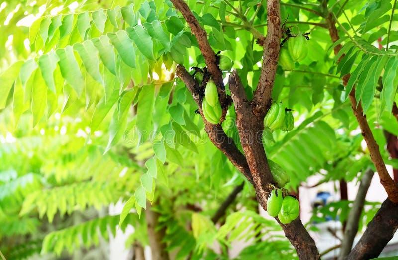Averrhoa Bilimbi eller träd Sorrel Fruits på filialen fotografering för bildbyråer