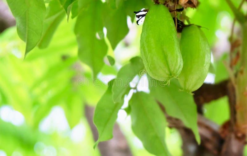 Averrhoa Bilimbi eller träd Sorrel Fruits på filialen royaltyfria foton