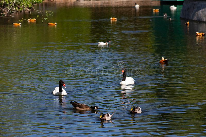 Aves acuáticas en la charca en el parque imagen de archivo libre de regalías