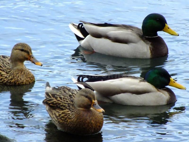 Aves acuáticas en la exhibición fotos de archivo libres de regalías