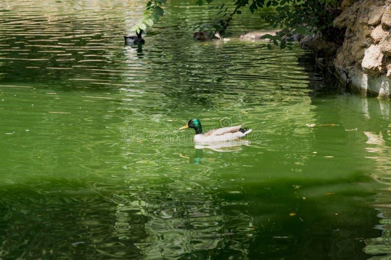 Aves acuáticas en los lagos Maria Luisa Park en la capital andaluz, Sevilla en España imagen de archivo libre de regalías