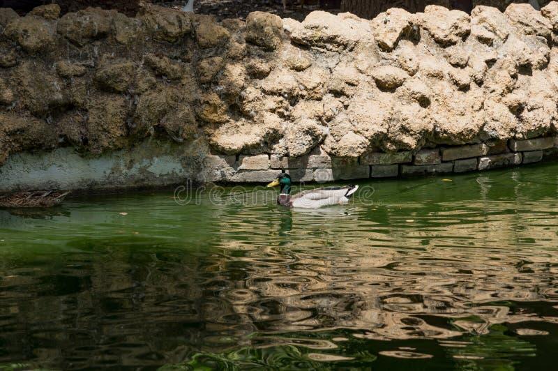 Aves acuáticas en los lagos Maria Luisa Park en la capital andaluz, Sevilla en España fotografía de archivo libre de regalías