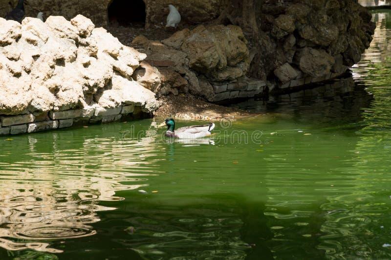 Aves acuáticas en los lagos Maria Luisa Park en la capital andaluz, Sevilla en España imágenes de archivo libres de regalías