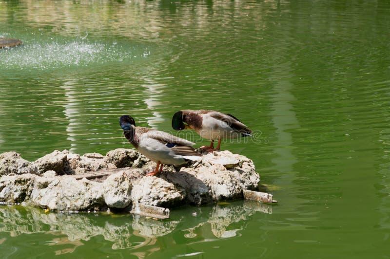 Aves acuáticas en los lagos Maria Luisa Park en la capital andaluz, Sevilla en España fotos de archivo