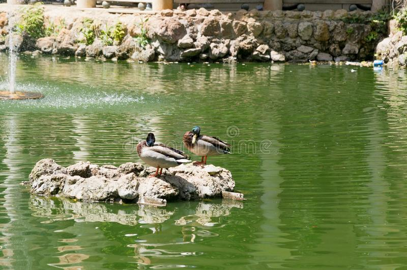 Aves acuáticas en los lagos Maria Luisa Park en la capital andaluz, Sevilla en España foto de archivo