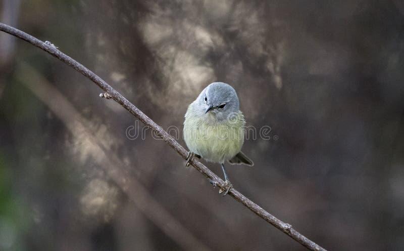 Aves canoras coroadas alaranjadas da toutinegra, Geórgia EUA imagens de stock royalty free