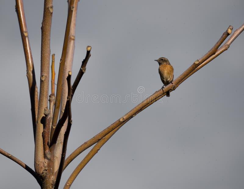 Aves canoras de Cartaxo-comum do rubicola do Saxicola no inverno fotos de stock