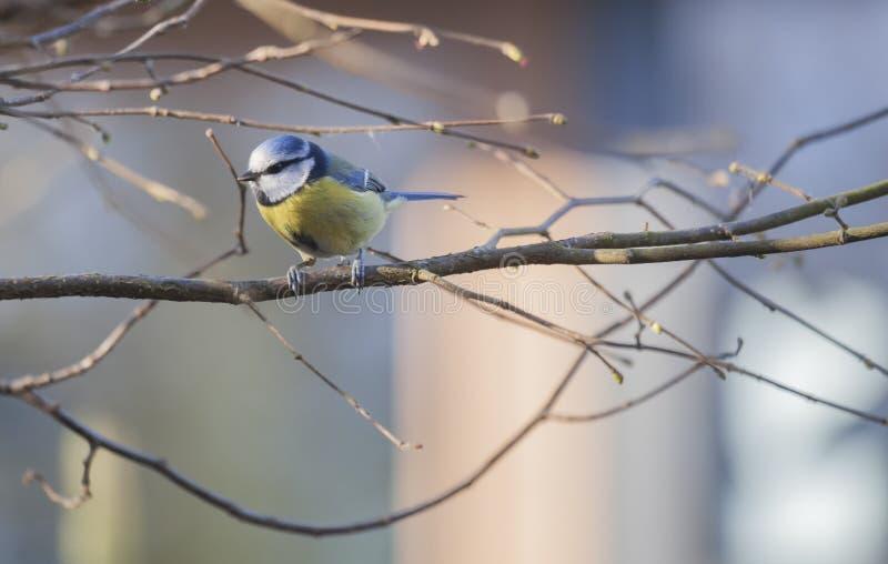 Aves canoras do melharuco azul foto de stock