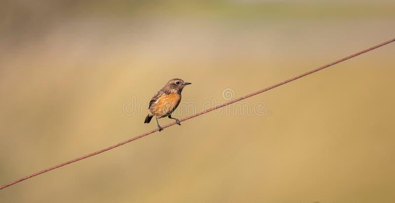 Aves canoras fêmeas do comum de Cartaxo do rubicola do Saxicola fotos de stock royalty free