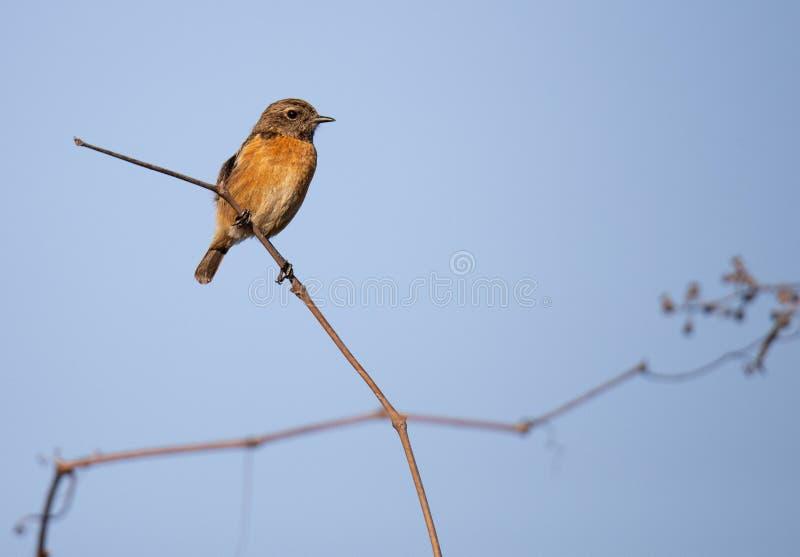 Aves canoras fêmeas do comum de Cartaxo do rubicola do Saxicola imagem de stock