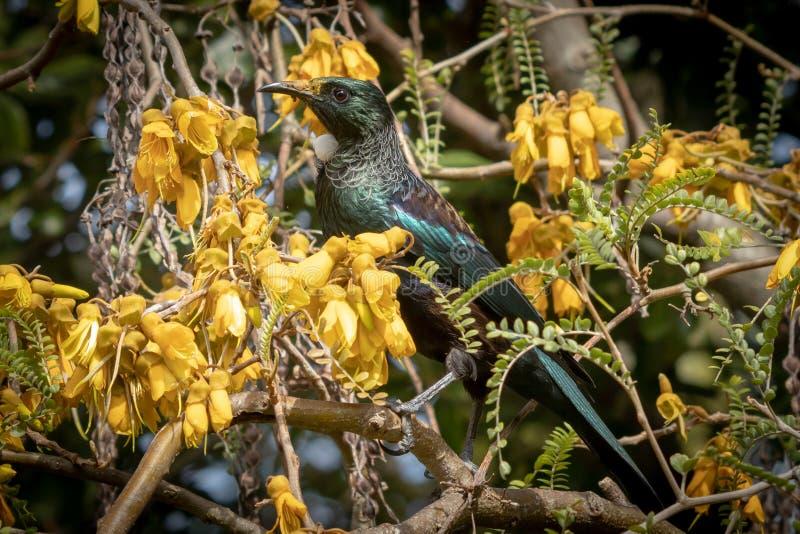 Aves canoras nativas de Nova Zelândia o Tui na árvore nativa do kowhai que suga o néctar das flores amarelas brilhantes da mola fotografia de stock