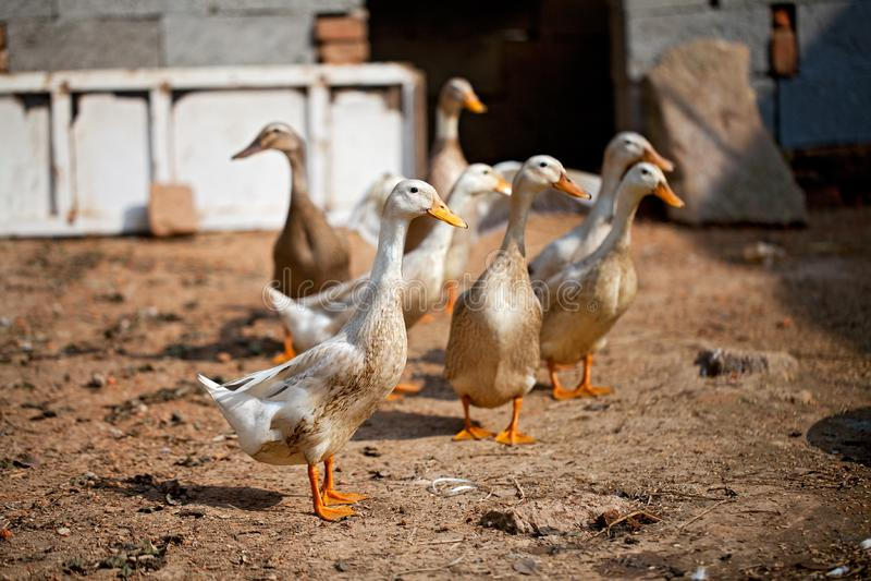 Aves De Corral Foto De Archivo. Imagen De Rural, Chino