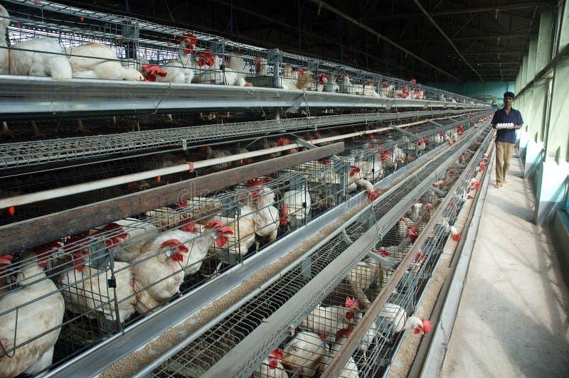 Aves domésticas da galinha fotos de stock royalty free