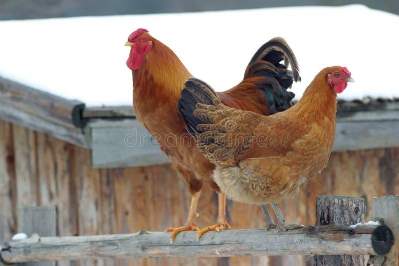 Aves domésticas, galinha e galo imagem de stock royalty free