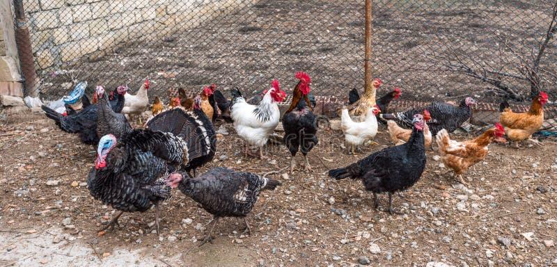 Aves domésticas na jarda de exploração agrícola fotos de stock
