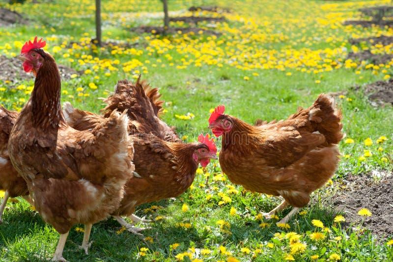 Aves domésticas no campo imagens de stock