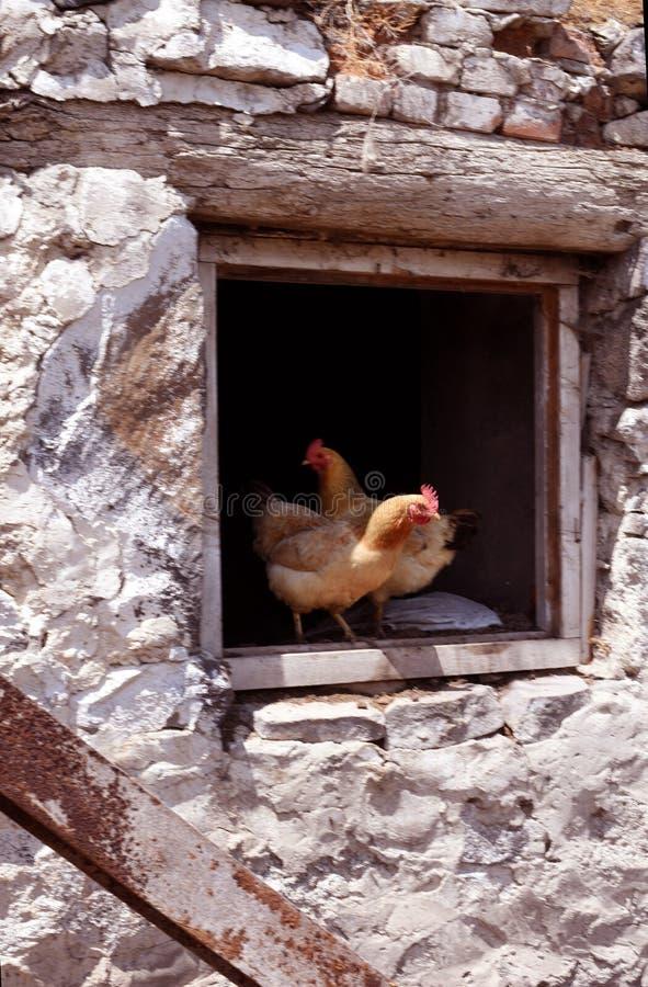 Aves domésticas orgânicas da galinha fotografia de stock