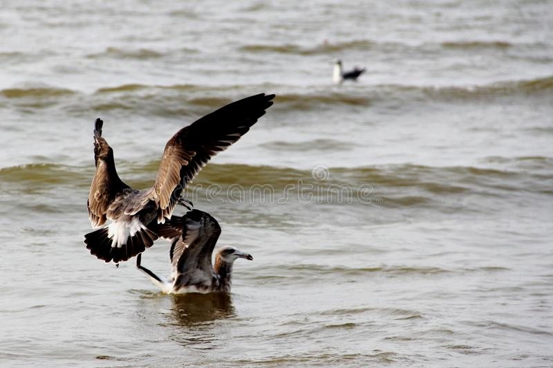 Aves marinas en el agua fotos de archivo libres de regalías
