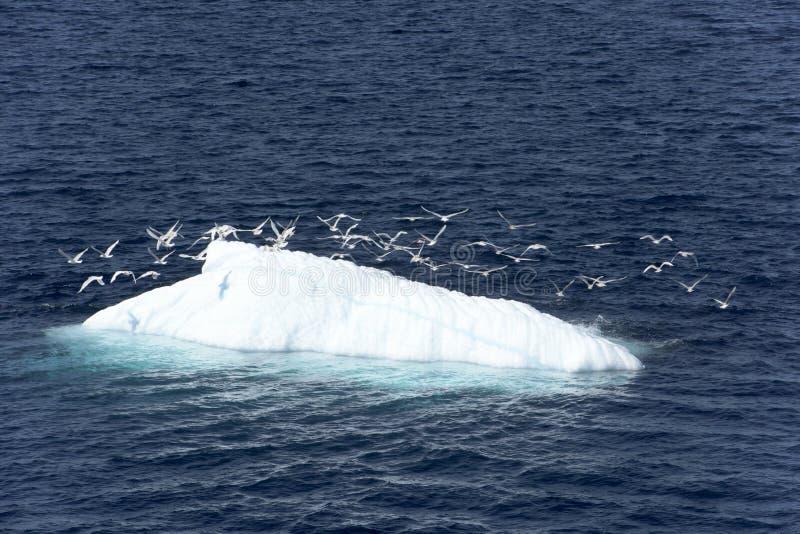 Aves marinas en el iceberg foto de archivo libre de regalías