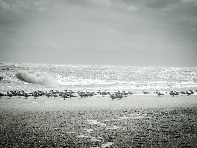Aves migratórias em uma praia do norte de Florida, Estados Unidos fotos de stock