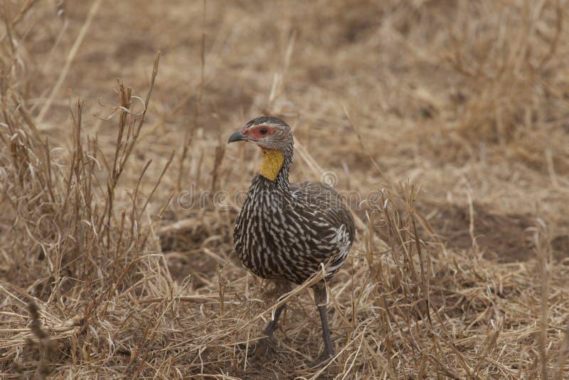 Aves necked amarillas del estímulo foto de archivo
