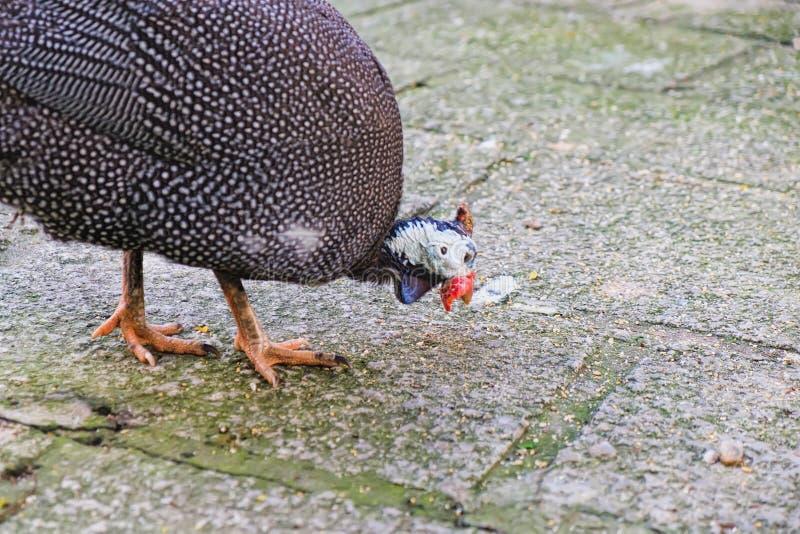 Aves que caminan alrededor de buscar la comida fotos de archivo