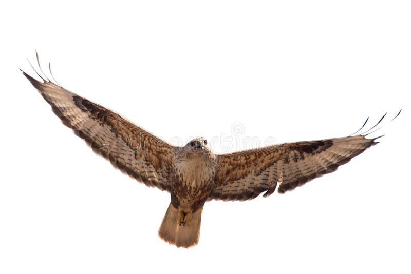 Aves rapaces - buteo común del Buteo del halcón en vuelo Aislado en blanco imágenes de archivo libres de regalías