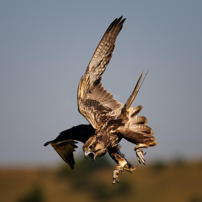 Aves rapaces - cherrug de Falco del halcón de Saker en vuelo fotografía de archivo