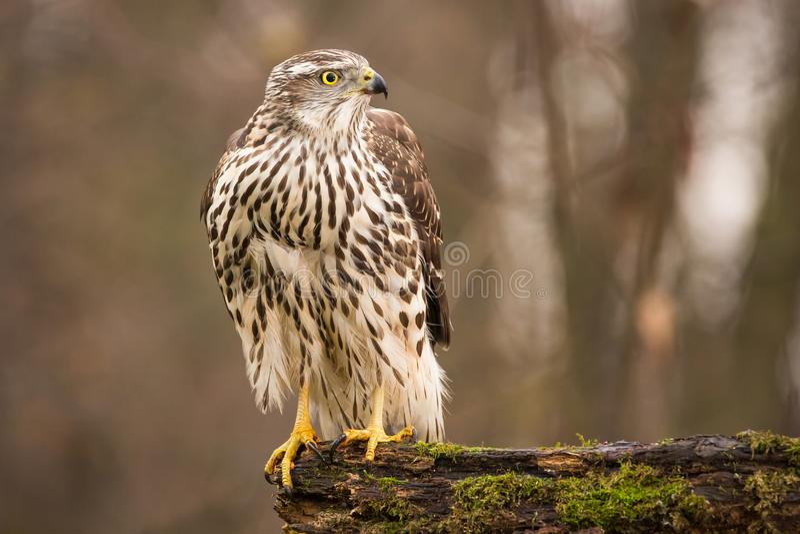Aves rapaces - gentilis septentrionales jovenes del Accipiter del azor Paisaje de la fauna imagenes de archivo