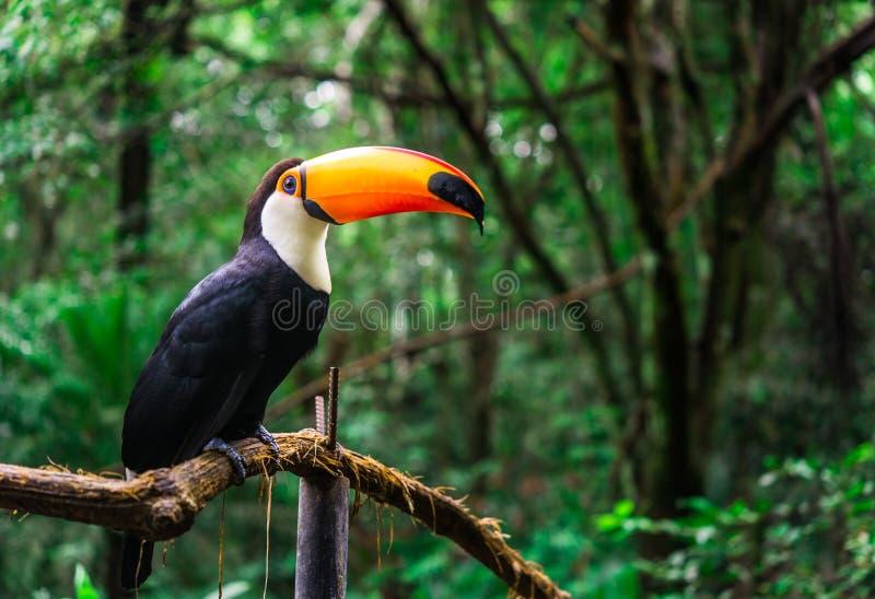 Aves tropicais tucanas no ambiente natural da vida selvagem na selva da floresta tropical imagem de stock