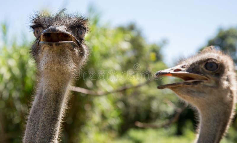 Avestruces que parecen significativas fotos de archivo