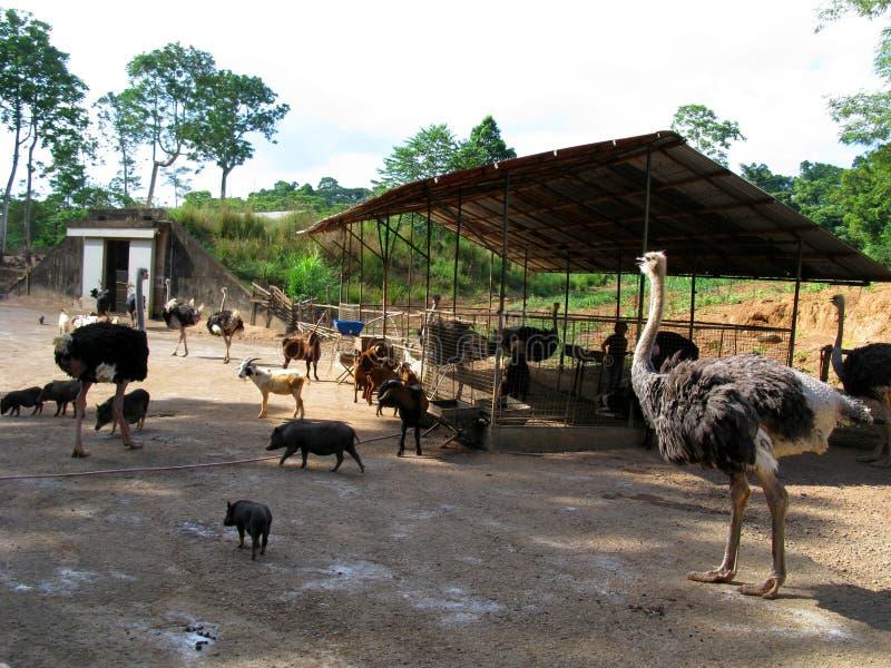 Avestruces, safari de Zoobic, Subic Bay, Filipinas fotografía de archivo libre de regalías