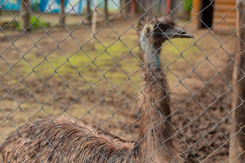 Avestruz adulta de un em? en la jaula al aire libre de un parque zool?gico imagen de archivo libre de regalías