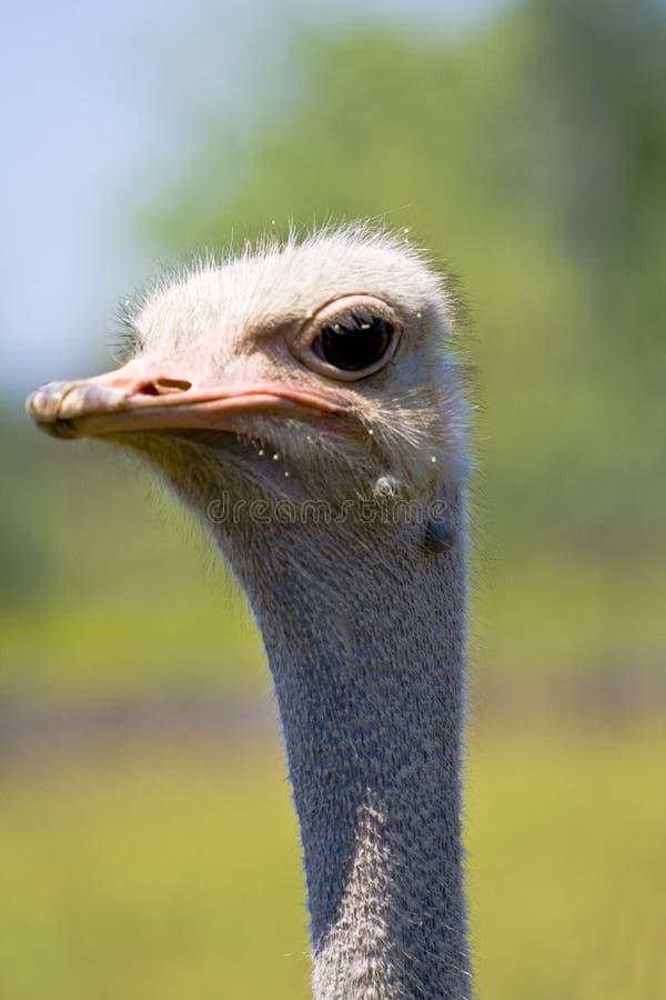 Avestruz africana foto de archivo