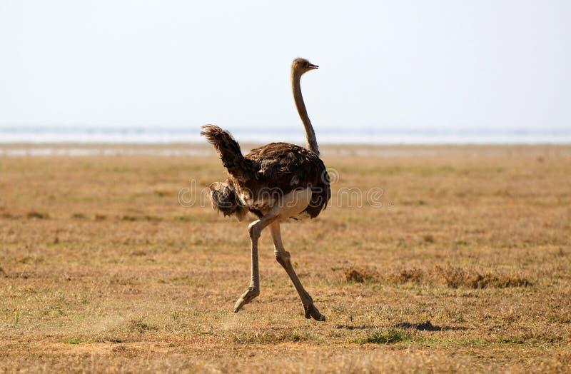 Avestruz africana imagens de stock