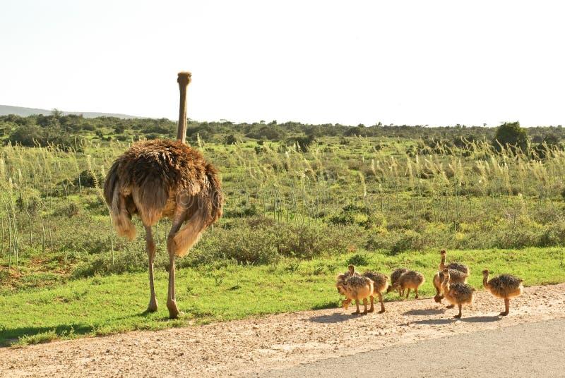 Avestruz africana con los pequeños pollos. camino del safari imagenes de archivo