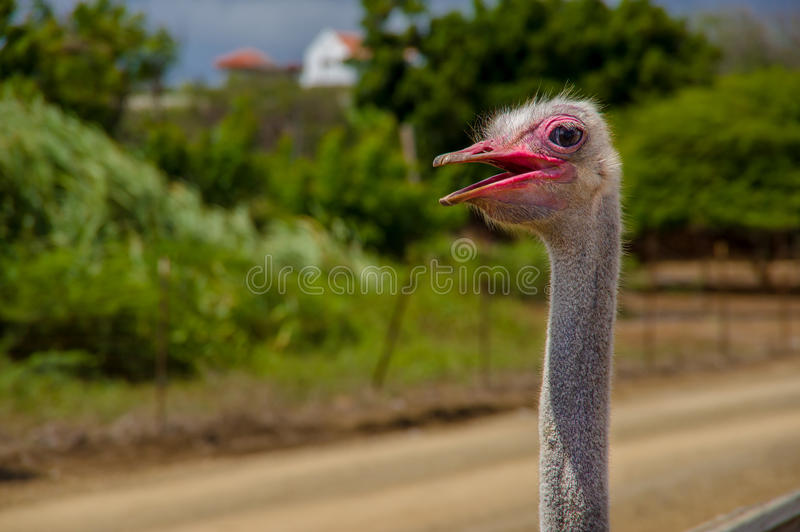 Avestruz africana curiosa que anda na avestruz fotos de stock royalty free