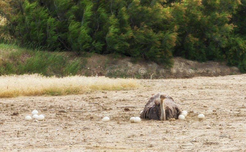 Avestruz africana masculina en la jerarquía que se sienta en los huevos hasta que tramen imagen de archivo