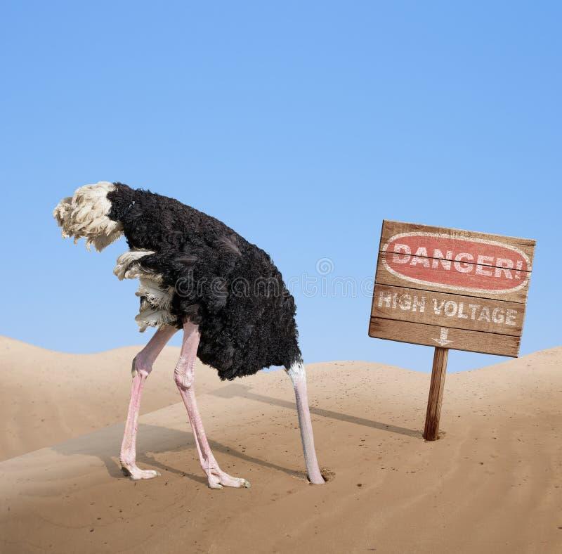 Avestruz assustado que enterra a cabeça na areia sob o perigo imagens de stock